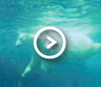 Video - Central Park polar bears swim against the current
